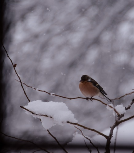 Chaffinch-10-Dec-2017-Snow-4