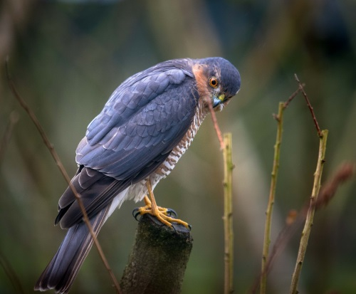Sparrowhawk-10-Mar-2018-3