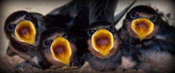 Swallows-20-Aug-2016-5