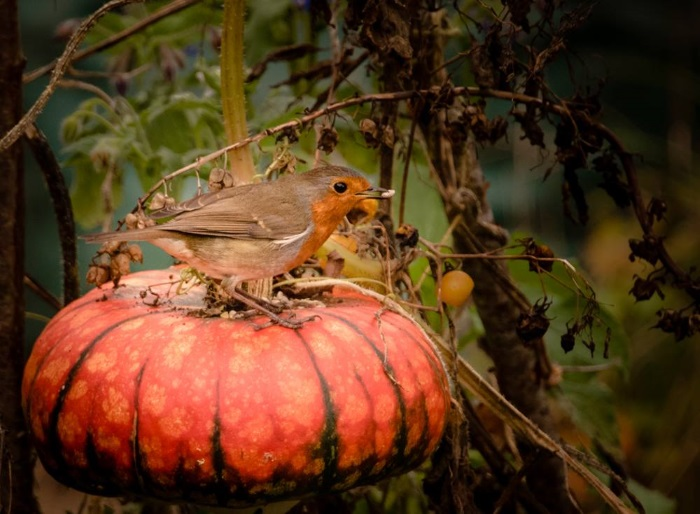 Brigit Graham Robin and Pumpkin