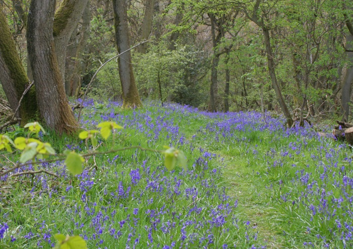 Clive Buckley bluebells and path